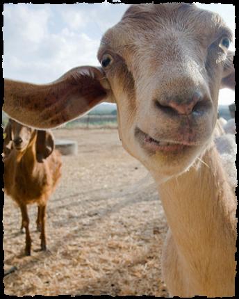 image-goat